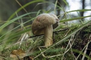 champignons-a-st-cadou-1