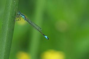 libellules-10