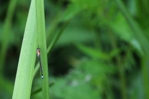 libellules-12