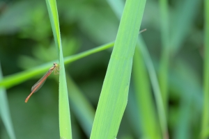 libellules-6