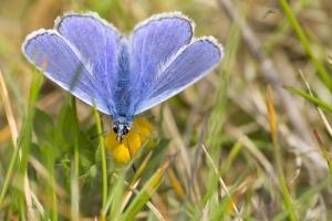 papillons bleus (11 sur 19)