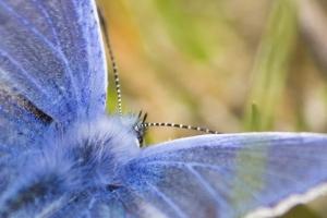 papillons bleus (12 sur 19)