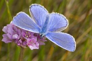 papillons bleus (8 sur 19)