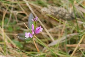 Polygale à feuille de serpolet - Polygala serpyllifolia