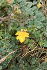 Lotier corniculé (Lotus corniculatus L.)