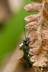oedemera nobilis mâle.jpg