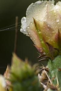 opuntia lindheimeri