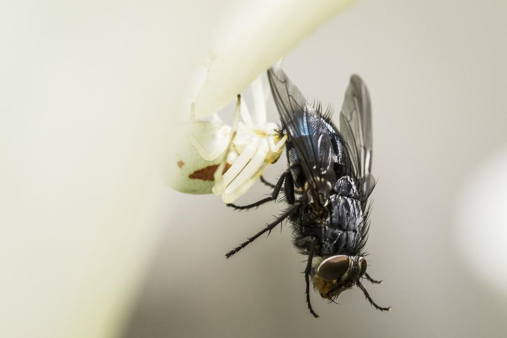 mouche et araignée-4 (Copier)