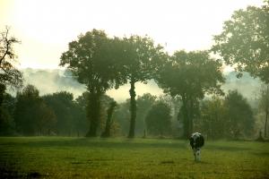 vaches-broceliande-3