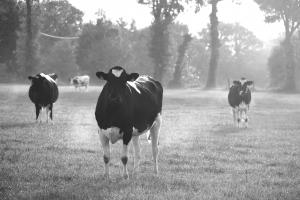 vaches-broceliande-2